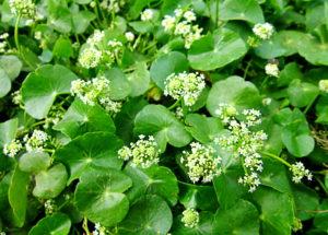 Centella asiática: A planta medicinal que vai recuperar sua saúde!