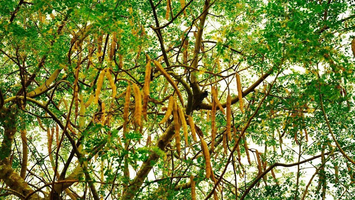 Moringa Oleifera