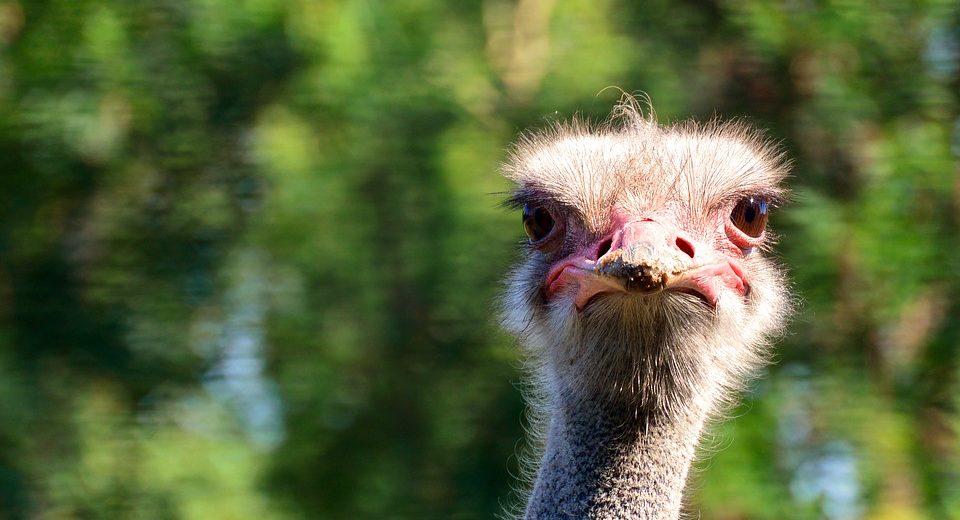 Óleo de avestruz: Emagrece mesmo? Veja todos os benefícios!