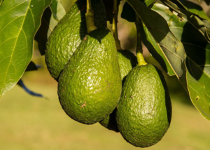 Chá de folha de abacate: Quais os benefícios? Saiba como curar diversas doenças!