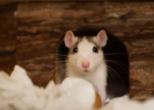 Sonhar com rato: Morto, branco, preto, grande, correndo e mais..